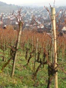 Ilustracija: vinogradhttp://www.zastitabilja.eu