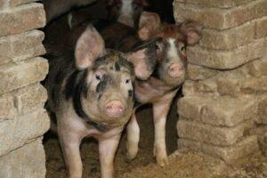 Ilustracija: farma svinja, foto: S,K,