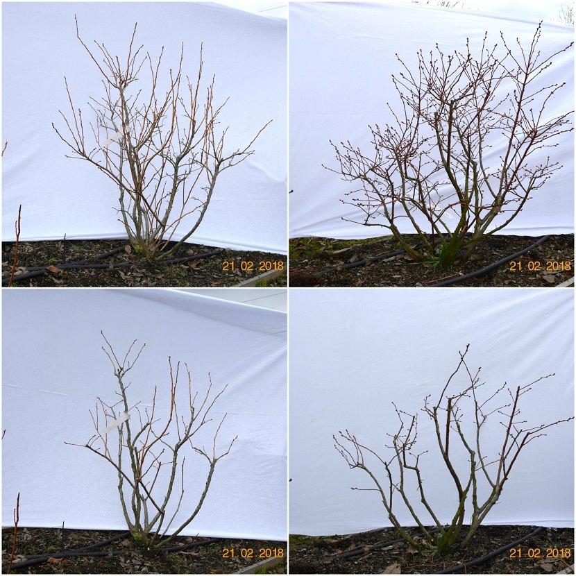 Ilustracija: postupak rezidbe borovnice, foto: Superior