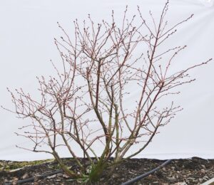 Ilustracija: rezidba borovnice, foto: Superior
