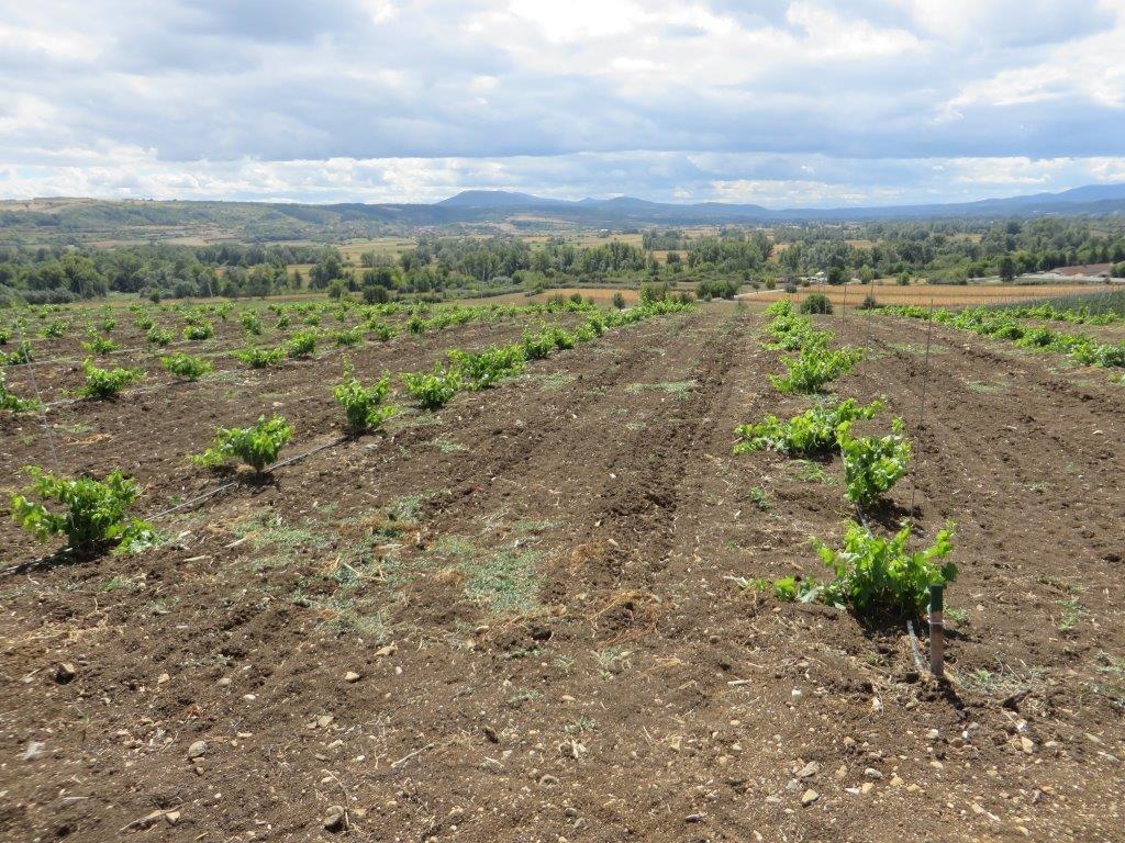 Ilustracija: vinograd, foto: S.K.