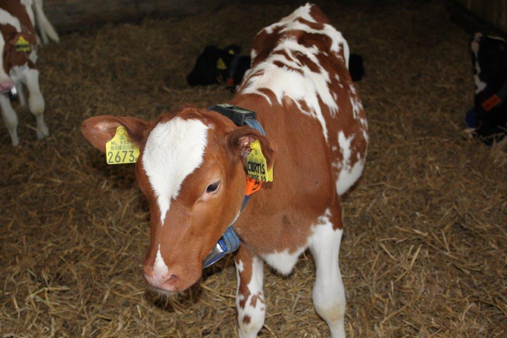 Ilustracija: farma krava i teladi, foto; S.K.