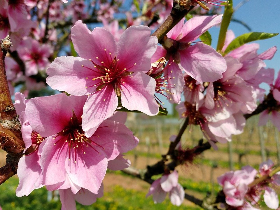 Ilustracija: cvet badema, foto: Ilustracija: badem, foto: https://pixabay.com