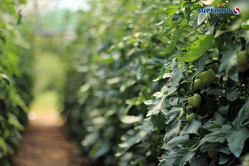 Ilustracija: paradajz hibrid