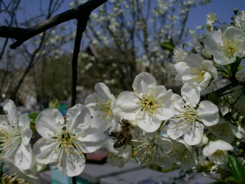 Ilustracija: pčelinaj u proleće