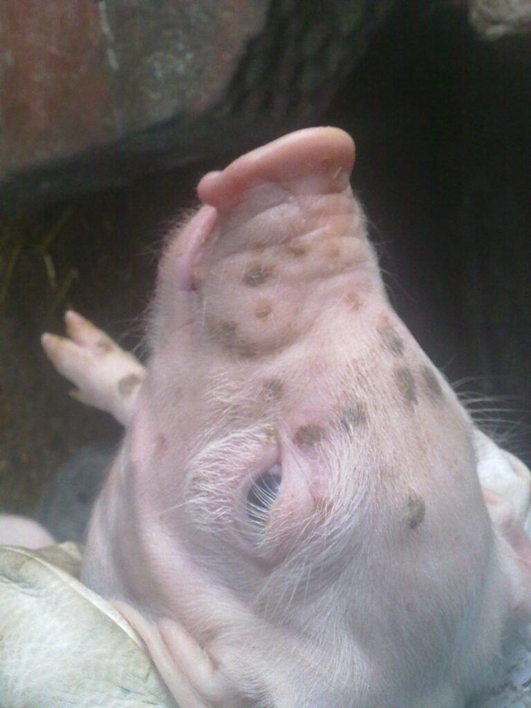 Ilustracija:čađavost prasadi, foto: veterina.info