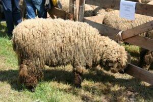 Ilustracija: svrljiška ovca, gazdinstvo Vidojkovič iz Svrljiga