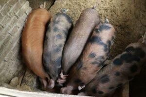 Ilustracija: farma svinja, foto: Domaćinska kuća