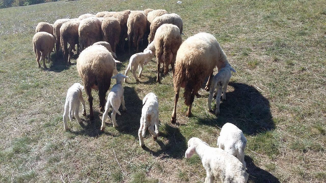 Ilustracija: ovce, foto: S.K.