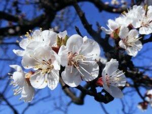 Ilustracija: cvet kajsije, foto: http://wiki.poljoinfo.com