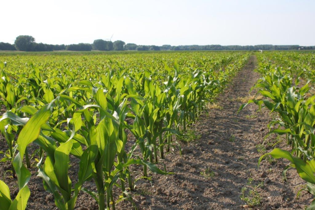 Ilustracija: kukuruz, foto. G.Đ.