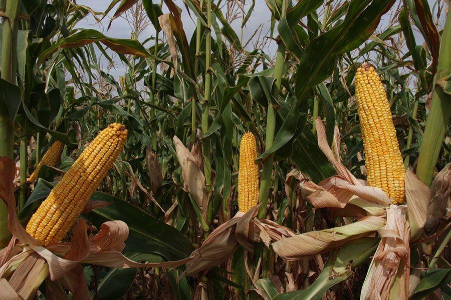Ilustracija: lk hibridi kukuruz Superior