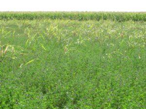 Ilustracija: polje lucerke, foto: S.K.
