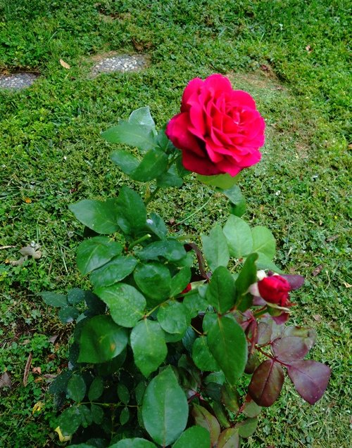 Ilustracija: Ruže u dvorištu, foto: Ilustracija: ruže u dvorištu, foto: https://bramanswanderings.files.wordpress.com