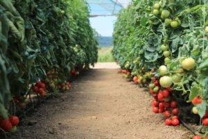 Ilustracija: paradajz plastenik, Superior iz Velike Plane