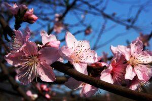 Ilustracija: Cvet šljive, foto: pixabay