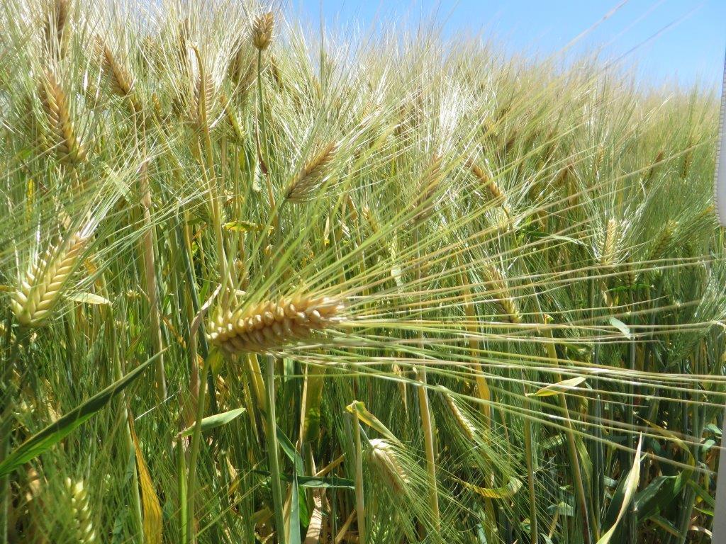 Ilustracija: pšenica, ogledno polje