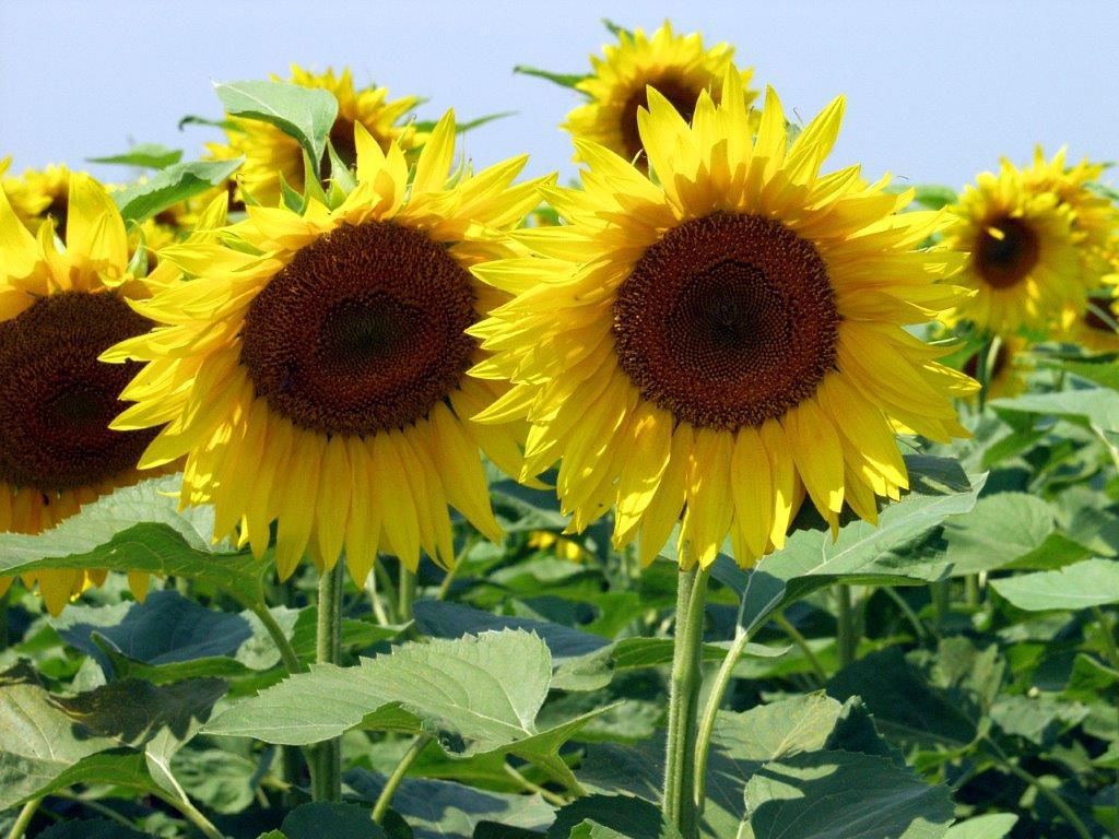 Ilustracija: Suncokret na njivi, foto: G.Đ.
