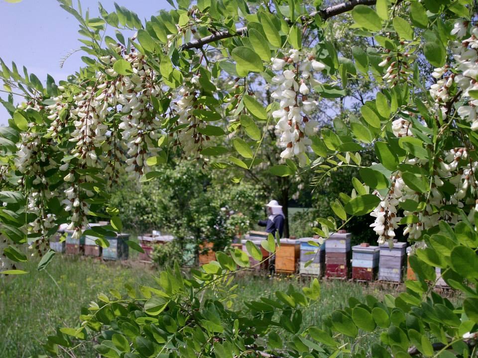 Ilustracija: pčele i bagrem