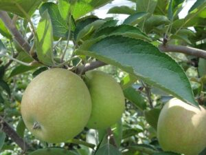 Ilustracija: Organska jabuka