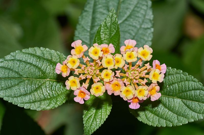Ilustracija: cvet lantana, foto: Ilustracija: cvet lantana, foto: https://en.wikipedia.org