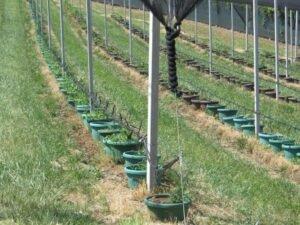 Ilustracija: zasad borovnice sa protivgradnom mrežom
