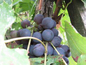 Ilustracija: crno stono grožđe