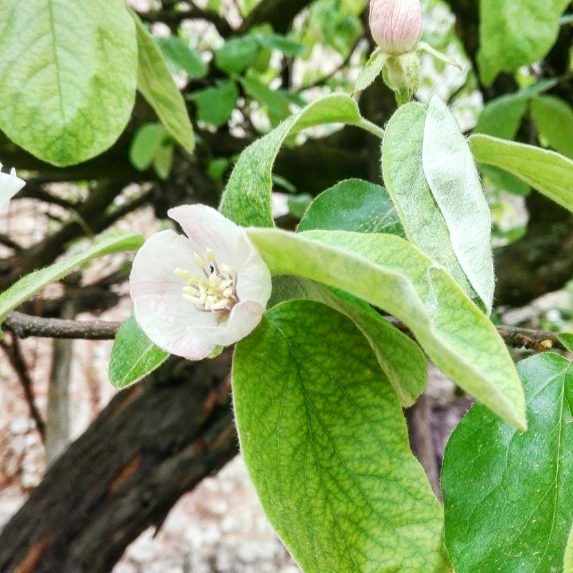 Ilustracija: Dunja u cvetu, foto: Domaćinska kuća