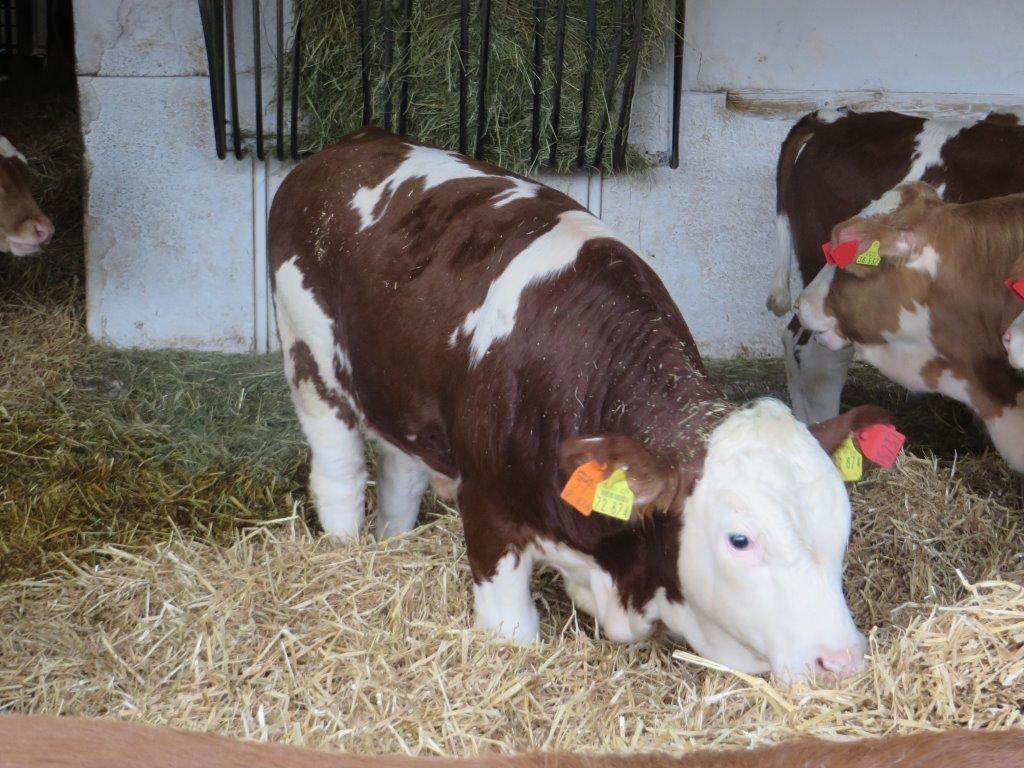 Šta je bitno za tov goveda