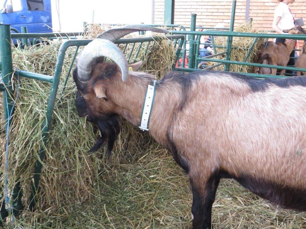 Ilustracija: koze sa izložbe u Novom Sadu