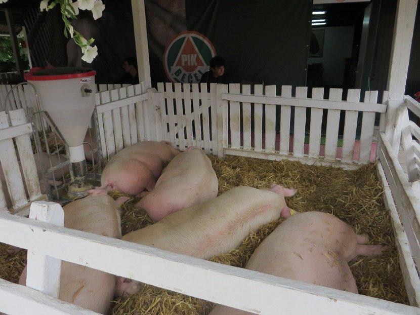 Ilustracija: izložba svinja