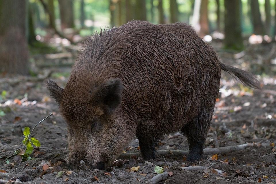 Ilustracija: divlja svinja