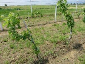 Ilustracija: vinograd