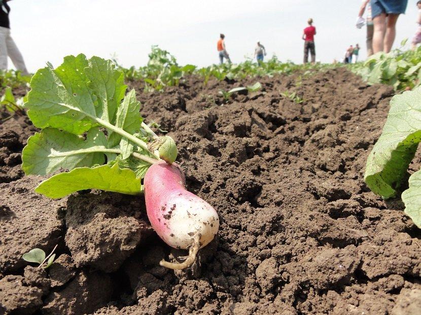 Ilustracija: organsko povrće