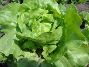 Organska salata, foto: Domaćinska kuća