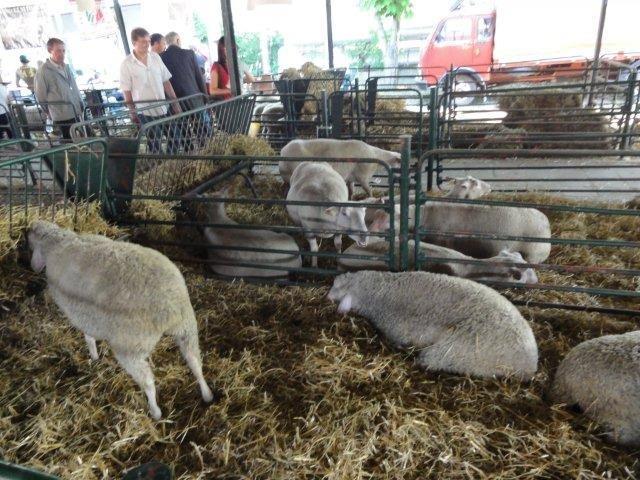 Ilustracija, ovce sa izložbe na novosadskom sajmu, foto: Svetlana Kovačević