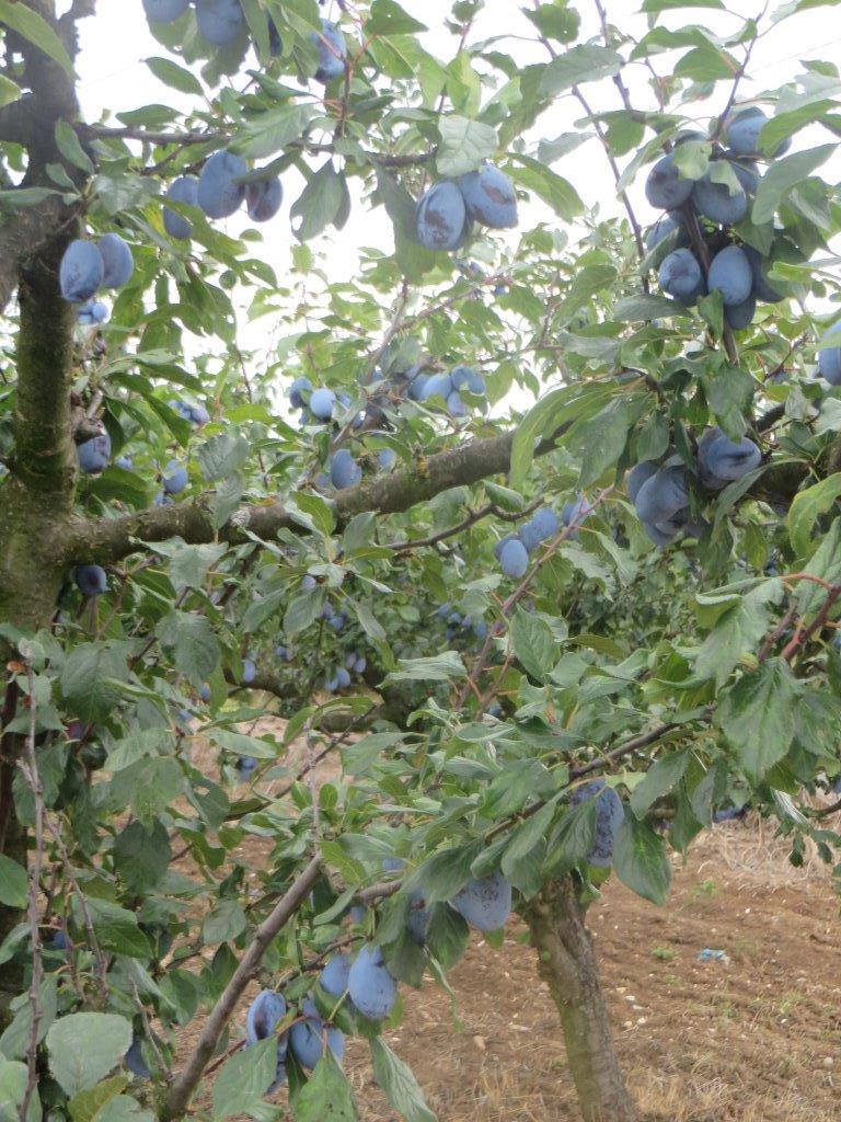Ilustracija: Stablo šljive i plodovi, foto: Domaćinska kuća