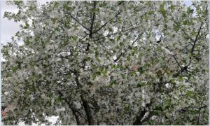 Ilustracija,voće u cvetu