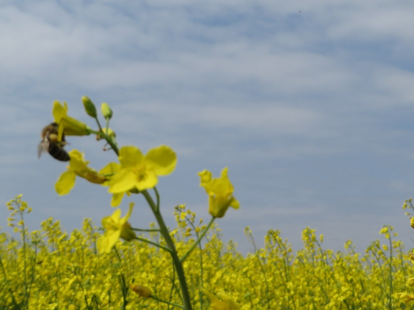 Ilustracija: pčela na uljanoj repici, foto: Domaćinska kuća