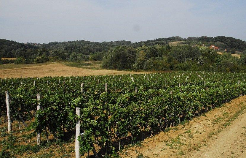 Ilustracija: vinograd porodice Lukić, preuzeto sa www.podrumlukic.rs