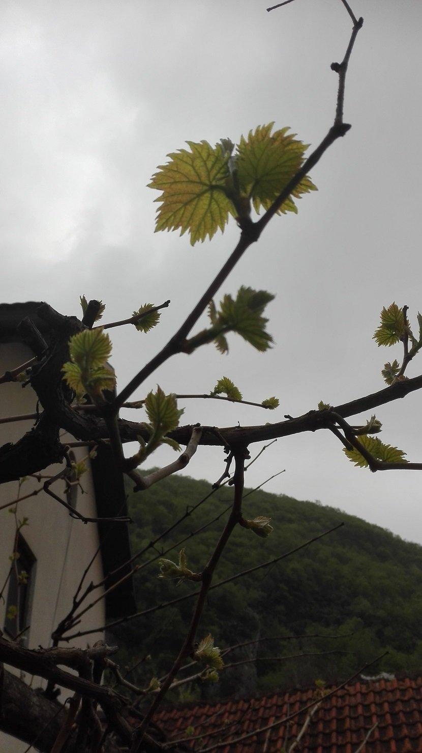 Ilustracija: vinova loza početak vegetacije lastar