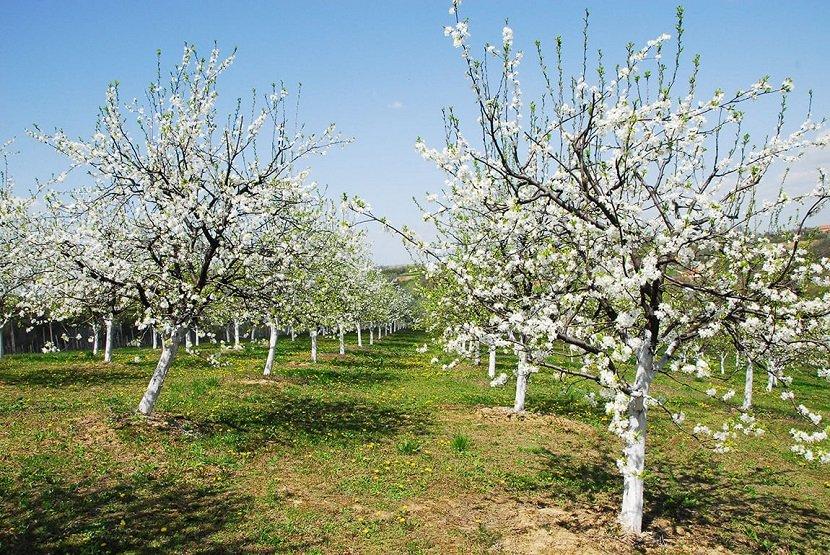 Ilustracija: voćnjak u cvatu, preuzeto sa www.podrumlukic.rs
