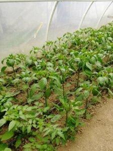 Ilustracija: paprika u maju, foto: Domaćinska kuća