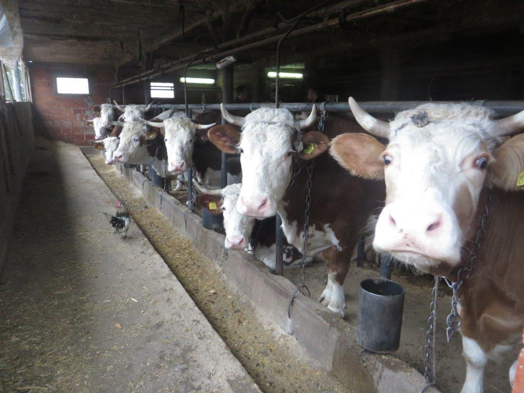 Ilustracija: Farma krava Barajevo