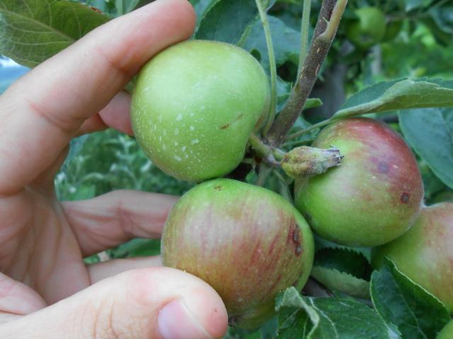 Ilustracija: jabukin smotavac, foto: http://www.pisvojvodina.com