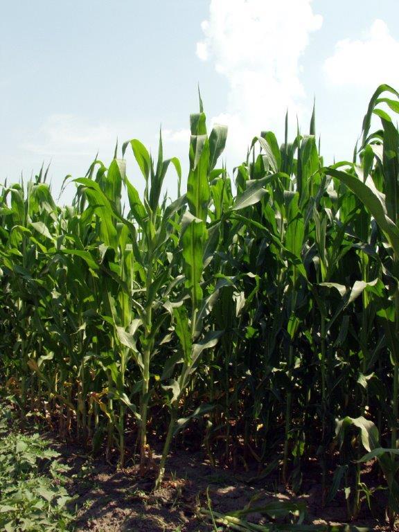 Ilustracija: kukuruz