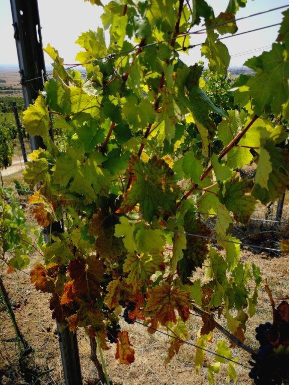 Ilustracija. vinograd, foto: Domaćinska kuća