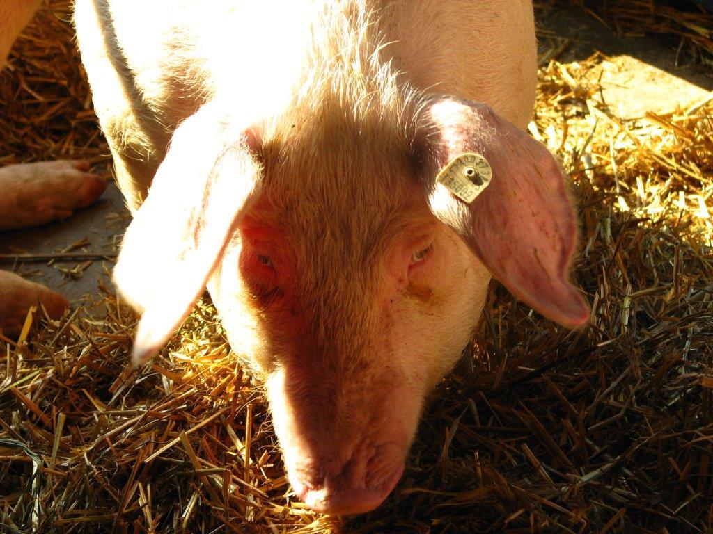 Ilustracija: svinje sa poljoprivrednog sajma, foto: Domaćinska kuća