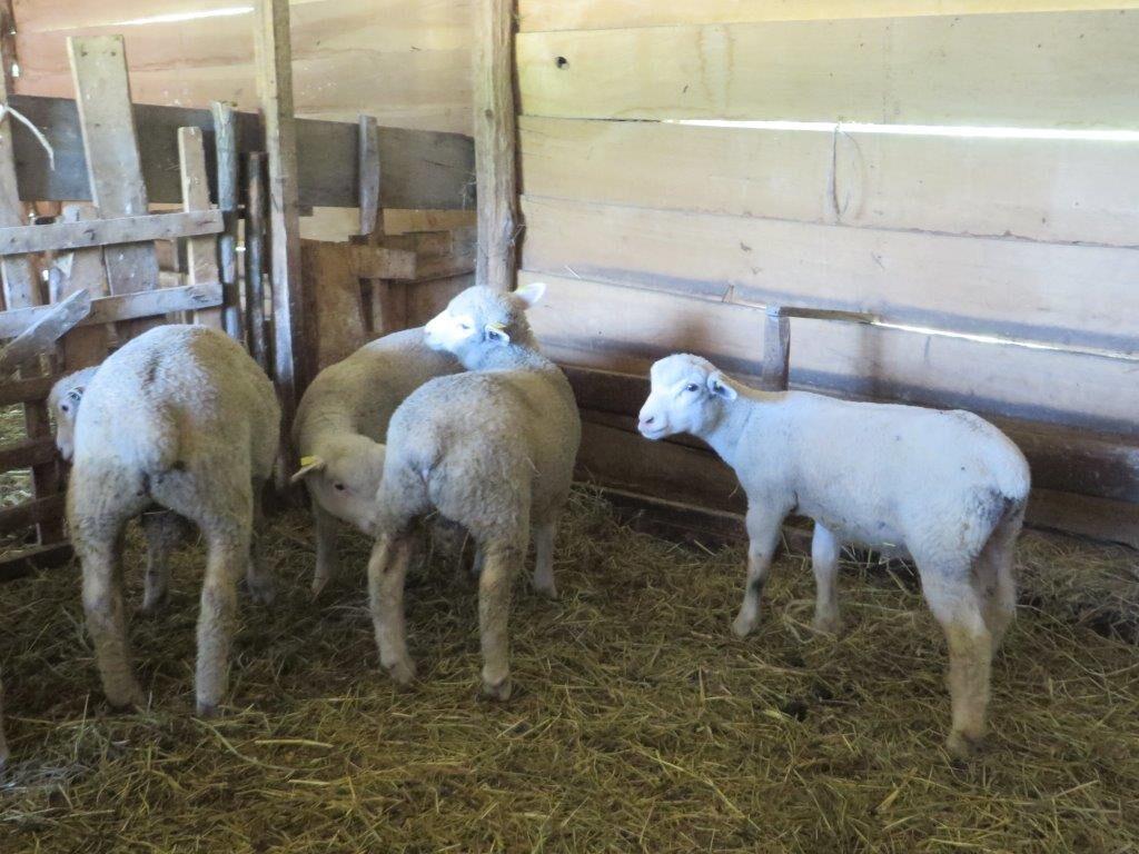 Ilustracija. farma jagnjadi, foto: Domaćinska kuća