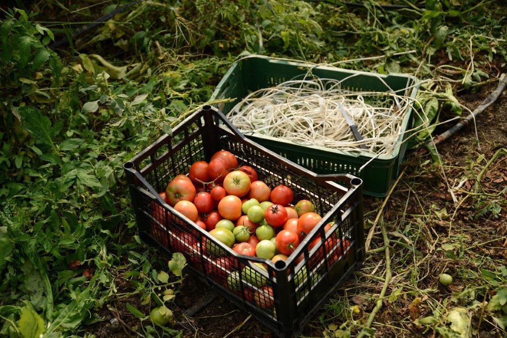 Ilustracija: organski paradajz. foto: S.K.